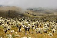 Frailejones (Espeletia pycnophaylla), Reserva Ecologica El Angel, near El Angel, Andes Mountains, Ecuador