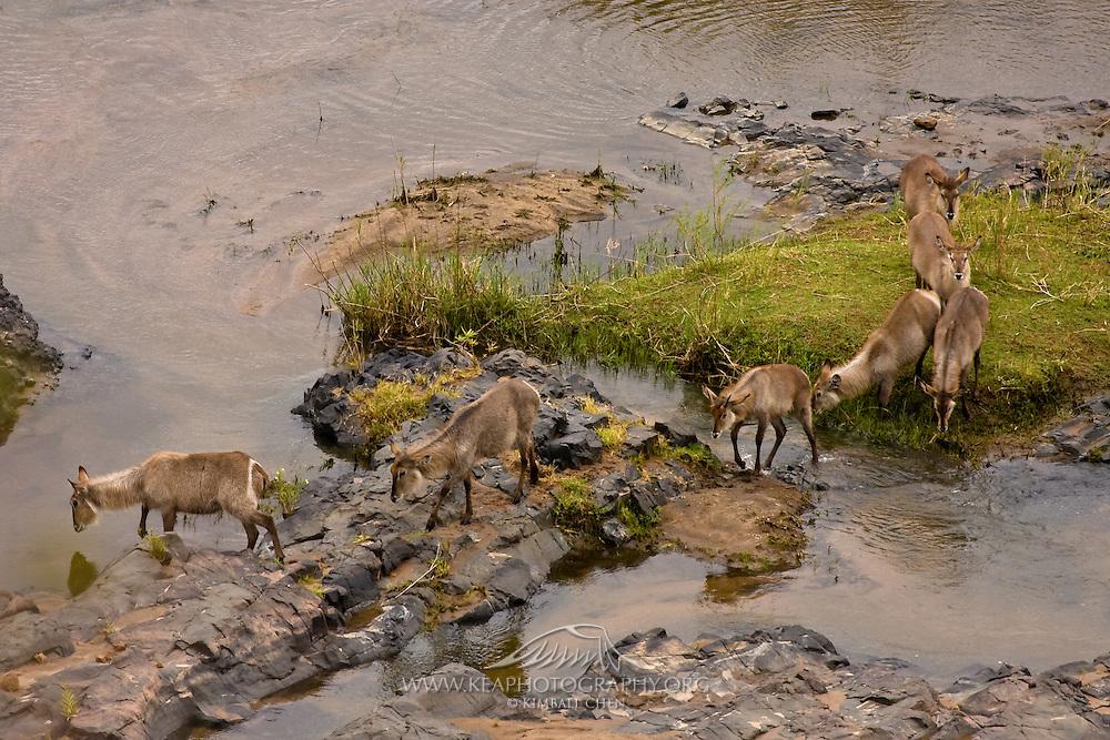 Waterbuck river crossing