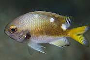 Chromis abyssicola (Deepsea chromis)