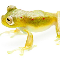 glass frog, Nynphargus grandisonae