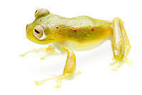 glass frog, Nynphargus grandisone