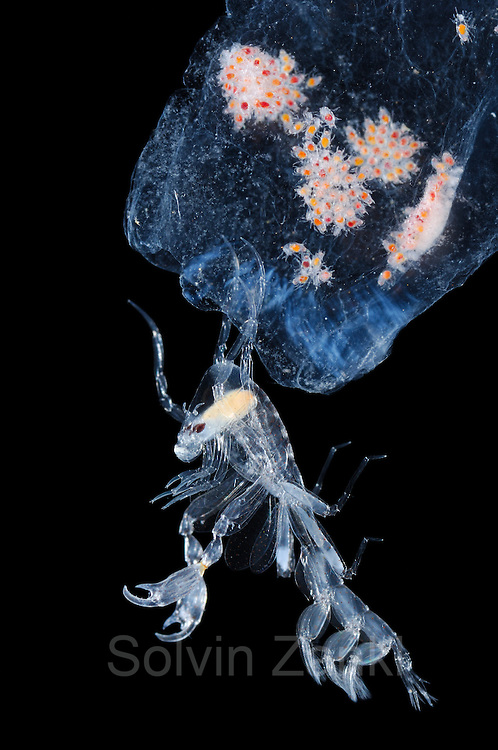 "Deep sea Pram Bug Phronima. amphipod (Phronima sp.) with young in a salp house. Phronima, the pram bug amphipod, is a small, translucent deep-sea hyperiid amphipod of the family Phronimidae. It resembles a shrimp with a head, eyes, jaws and clawed arms. Phronima are only seen in the wild at great depths. Phronima are carnivorous; they eat small plankton. P. sedentaria often uses dead salps for housing. Phronima served as an inspiration for the design of the Xenomorphs of the Alien film series. housing young within salp [size of single organism: 2,5 cm] | Dieser winzige Tiefsee-Krebs (Phronima sp) war die Vorlage für die Titel-Figur aus Ridley Scotts Kultfilm ""Alien"". Als über 2 m großes Monster hat er auf der Leinwand die Menschen erschauern lassen – während das Tierchen in der Realität nur wenige Zentimeter misst. ""Kinderwagen-Krebs"" (engl. pram bug amphipod) wird er genannt, weil er seine Eier in einer ausgehöhlten Salpe ablegt und diese dann, wie auf dem Foto zu sehen, mit seinen langen Beinen über sich hält und durch das Wasser schiebt. (Atlantik)"