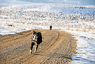 Australian Shepherd dog,  taking walk with master, Wilsall, Montana, MODEL RELEASED, PROPERTY RELEASED