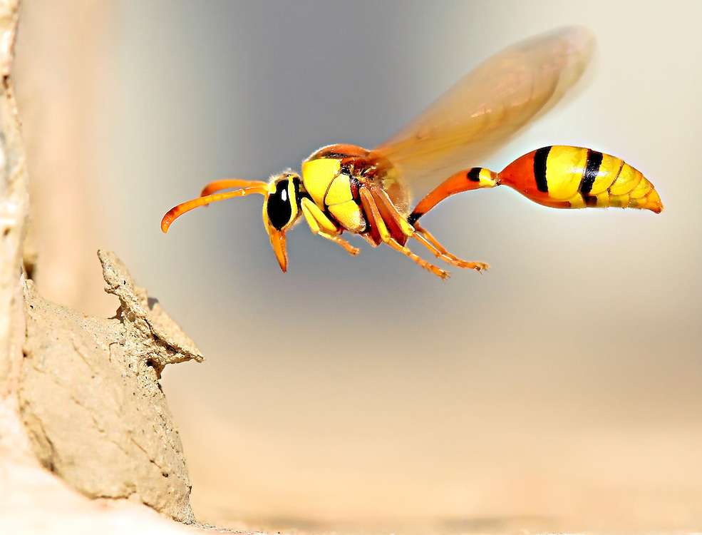 A Yellow Potter Wasp in flight...
