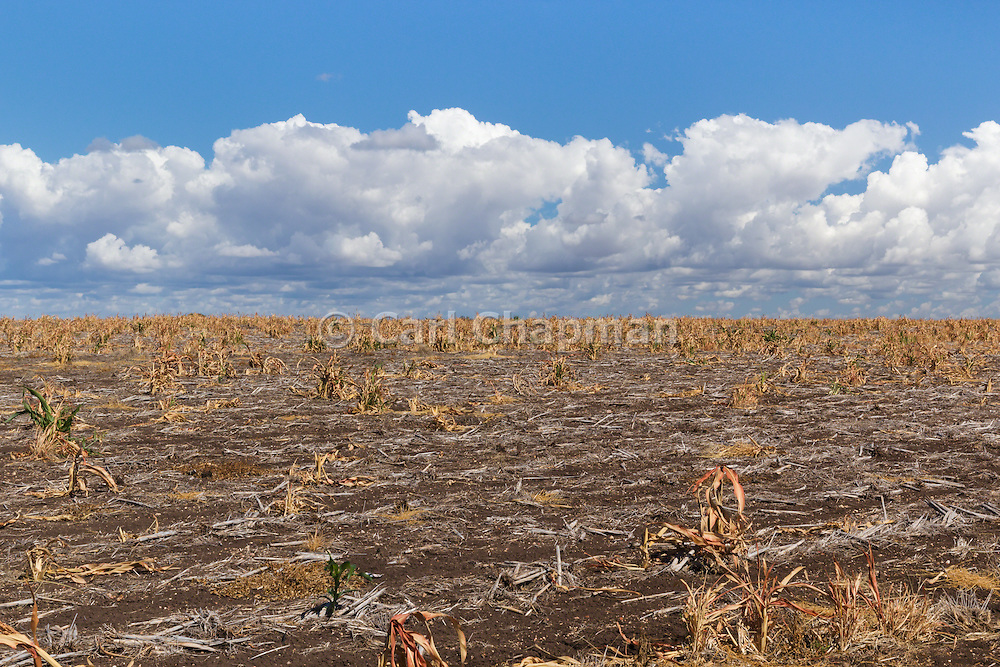 Sorghum crop stubble in farm paddock after harvest under clouds in Clermont, Queensland, Australia