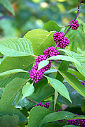 Beautyberry Bush magenta berries are strikingly beutiful long lasting plants in the southern U.S.