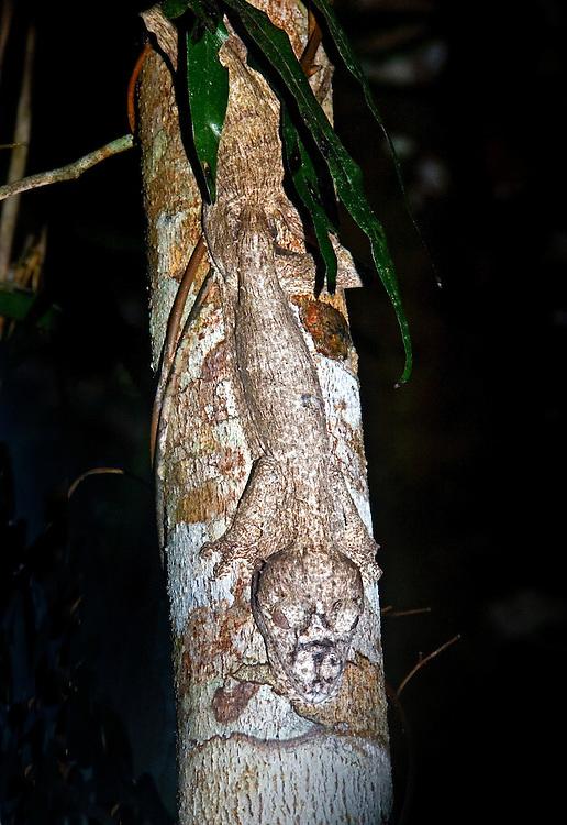 Frilled Leaf Tailed Gecko (Uroplatus henkel)
