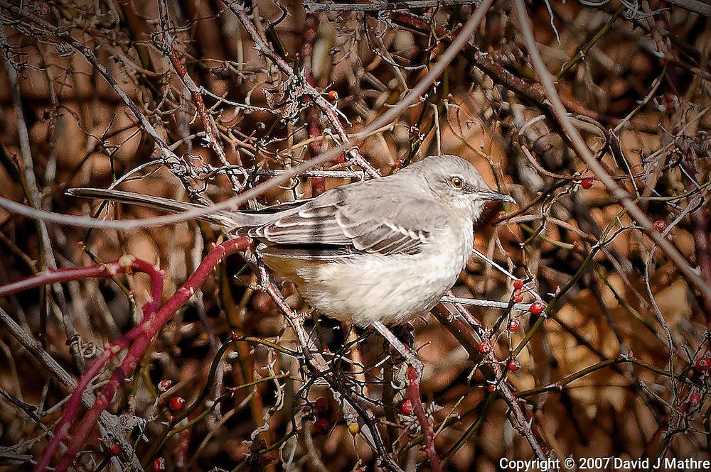 Northern Mockingbird. Late Autumn Backyard Nature in New Jersey.