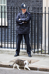 © Licensed to London News Pictures. 19/04/2017. London, UK. Larry the Downing Street cat outside Number 10. Yesterday, Theresa May called a snap General Election, to take place on 8 June 2017. Photo credit : Tom Nicholson/LNP