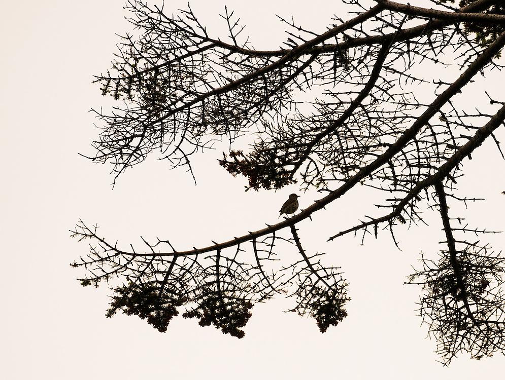 Song thrush, Scotland