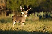 Whitetail Deer Hunting Stock Photos