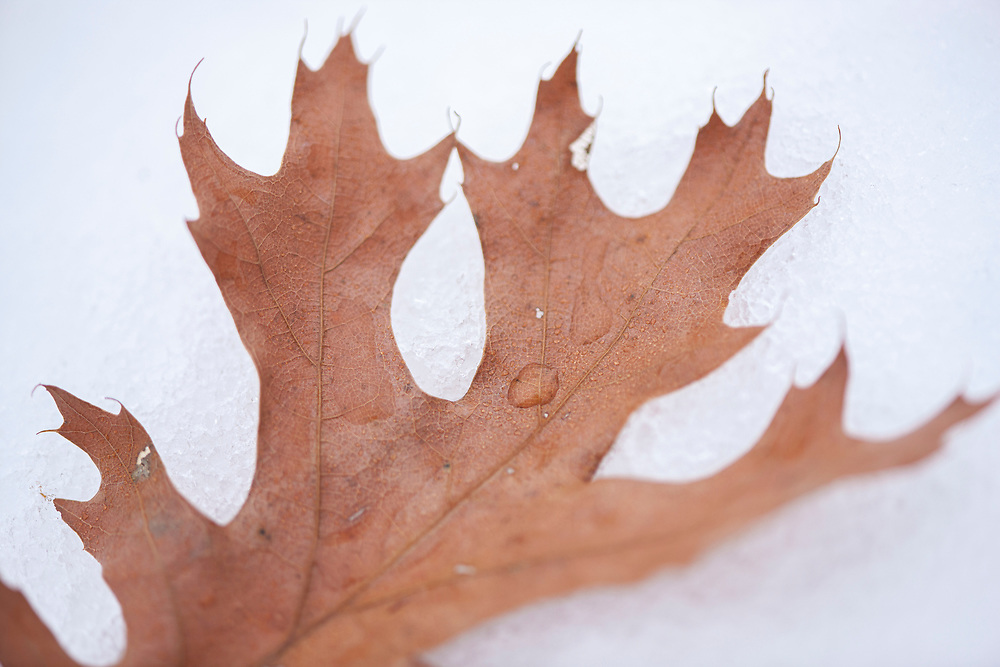 Northern Pin Oak (Quercus ellipsoidalis) leaf on melting snow