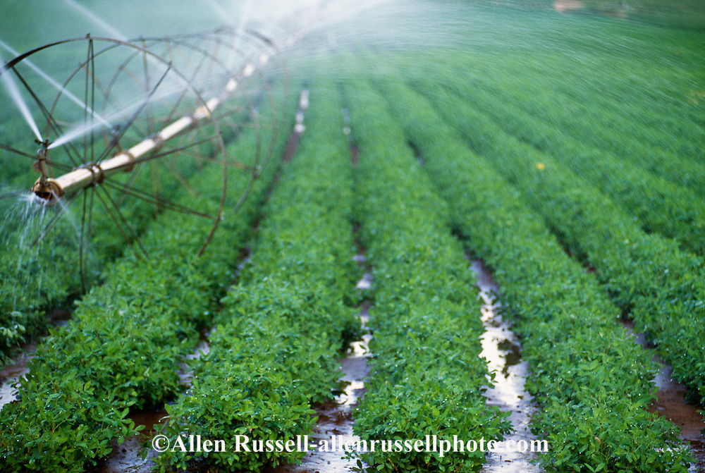 Peanut crop being irrigated in Oklahoma | Allen Russell Photography