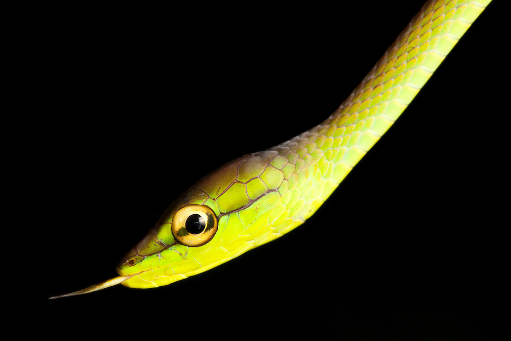 Cope's Vine snake, Oxybelis brevirostris, with tongue sticking out in the Choco Department of Colombia