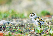 Canada, Northwest Territories. Newly-hatched Golden Plover chick.