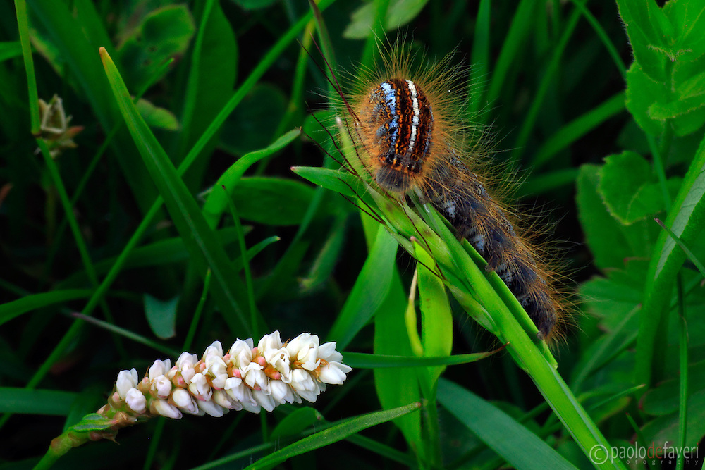 I spotted this nice specimen of caterpillar while on my wanderings in the Alps, on a summer afternoon.