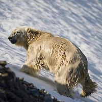 Norway, Svalbard, Spitsbergen Island, Polar Bear (Ursus maritimus) climbing snow slope after swimming across fjord in Burgerbukta Bay
