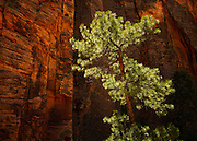A ponderosa pine tree catches a bit of sunlight. Clear Creek on the east side of Zion National Park, Utah.