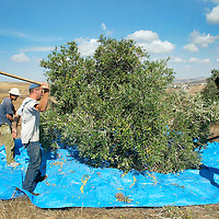 Young setllers harvest an olive tree in the illegal settlements of Havat Gilad on October Wednesday 25. 2006. Photo by Olivier Fitoussi /Flash90.
