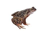 Comon frog in the field studio