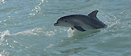The bottle-nosed dolphin is a common site in the Pine Island Sound Aquatic Preserve off of Captiva Island. Dolphins are extremely social animals and live in large groups, or pods, of 15 to 100 animals.