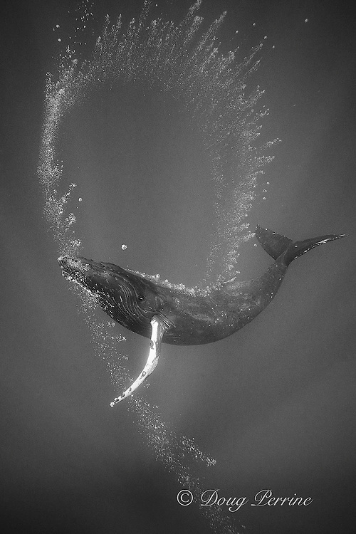 humpback whale, Megaptera novaeangliae, lone female blowing bubble stream (apparently for her own amusement), Endangered Species, Kona, Hawaii ( Central Pacific Ocean )