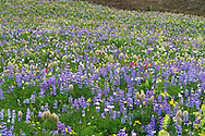 Wildflowers including Lupines, Paintbrush, Arnica and Asters in full bloom at Tipsoo Lake in Mount Rainier National Park, Washington State, USA