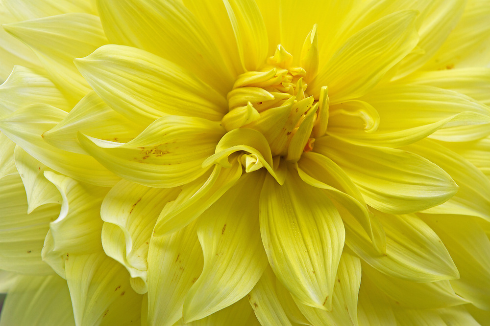 Floral fine art photography of a beautiful yellow flowering dahlia photographed at Thuya Garden in Northeast Harbor, Maine. The magical garden and its surrounding land is a wonderful mixture of flower beds and native eastern Maine woodlands situated on a granite hillside overlooking Northeast Harbor. There is limited parking at the entrance to the garden and at the bottom of the hill. There is  parking at the bottom of the hill and a climb up staircases rewards with stunning views of Northeast Harbor and surrounding areas.  <br /> <br /> Floral Whipped Cream, dahlia flower fine art photography pictures are available as museum quality photography prints, canvas prints, acrylic prints or metal prints. Flower fine art prints may be framed and matted to the individual liking and decorating needs at:<br /> <br /> http://juergen-roth.pixels.com/featured/floral-whipped-cream-juergen-roth.html<br /> <br /> All dahlia flower photos are available for digital and print use at www.RothGalleries.com. Please contact me direct with any questions or request. <br /> <br /> Good light and happy photo making!<br /> <br /> My best,<br /> <br /> Juergen<br /> Image Licensing: http://www.RothGalleries.com <br /> Fine Art Prints: http://juergen-roth.pixels.com<br /> Photo Blog: http://whereintheworldisjuergen.blogspot.com<br /> Twitter: https://twitter.com/naturefineart<br /> Facebook: https://www.facebook.com/naturefineart <br /> Instagram: https://www.instagram.com/rothgalleries