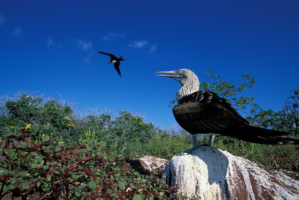 South America, Ecuador, Galapagos Islands, Blue-Footed Boobie (Sula nebouxii) standing at ground level on North Seymour Island