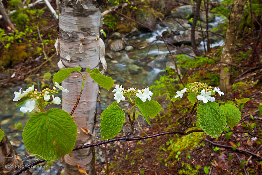 Blooming hobblebush next to a stream in spring.  Stratton, Maine. Tributary to the South Branch of the Carrabassett River.