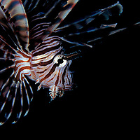 Closeup of the common Lionfish, pterios volitans, at Dauin beach, Dumaguette, Philippines.