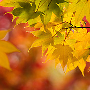 A Japanese maple (Acer palmatum ssp. amoenum) displays the full range of fall colors — red, yellow, green — in early autumn in the Washington Park Arboretum, Seattle, Washington.