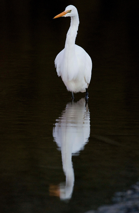 A White Heron wades on the edge of the Okarito Lagoon, South Westland, New Zealand, Tuesday, June 08, 2010.  Credit:SNPA / David Alexander..