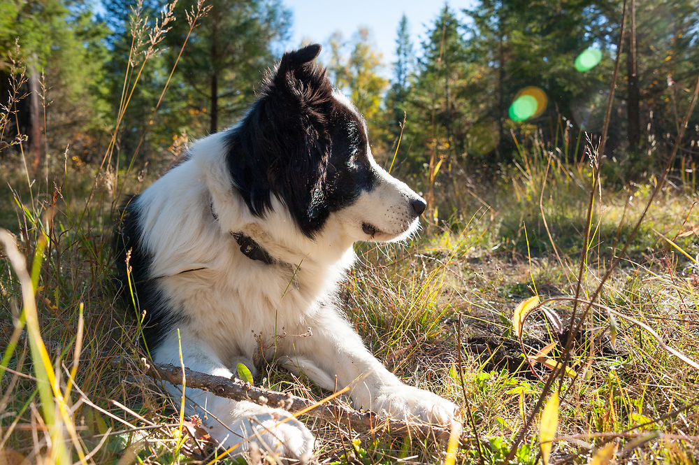 Karelian bear dog border collie mix - photo#12