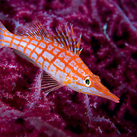 Longnose Hawkfish perched on a Gorgonian