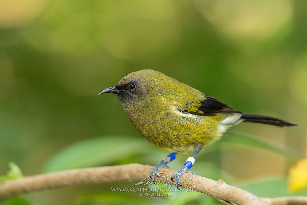 Bellbird, Tiritiri Matangi, New Zealand