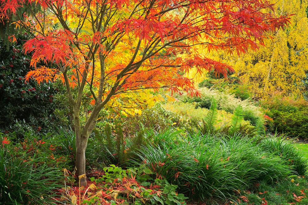 Maple trees in fall color at Kubota Japanese Garden, Seattle, Washington.