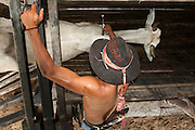 Pantanal cowboy 'Boiadeiro' ('Ad&atilde;o' Gilson Gomez) giving the cattle their annual rabies vaccinations. This is manditory in the Central Pantanal as once a month buyers pass through all the Fazendas buying cattle.  They walk for 3 days to get to market crossing through many more fazendas en-route.<br /> Pantanal. Largest contiguous wetland system in the world. Mato Grosso do Sul Province. BRAZIL.  South America