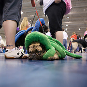 Waiting to be judged in the Ready Made costume contest. .The 6th Annual Milwaukee Pug Fest was held Sunday May 16. 2010 at the Milwaukee Sports Complex in Franklin, Wisconsin.