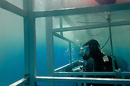 Great white shark diving in Guadalupe Islands