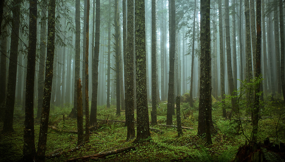 Second Growth Forest, Olympic Peninsula, Washington