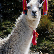 Colored tassels on a friendly llama mark ownership as it grazes on communally managed land at Lake Surasaca, in the Cordillera Raura, Peru, at the end of our Huayhuash trek, in the Andes Mountains, South America. Published in 2009 on Swedish trekking company site www.adventurelovers.se and in 2009 on a Peruvian tour company web site.