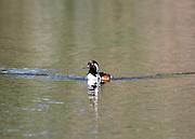 A male hooded merganser swimming on a hidden pond on Jekyll Island Georgia.