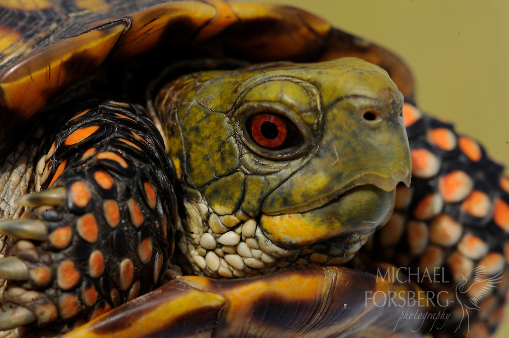 Red eyes distinguish the male ornate box turtle from the female, whose eyes are light brown.  Osage Plains, Oklahoma.