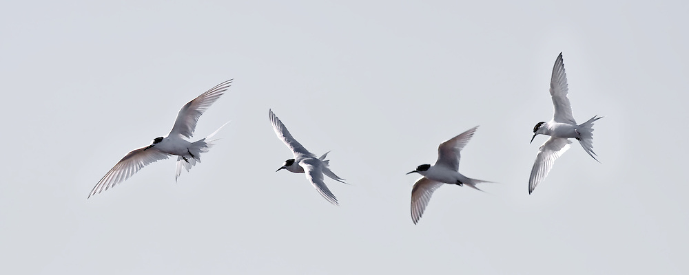 white-fronted tern flight sequence