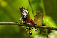 Club-winged Manakin (Machaeropterus deliciosus)..Endemic species to Ecuador...Milpe Cloudforest Reserve.