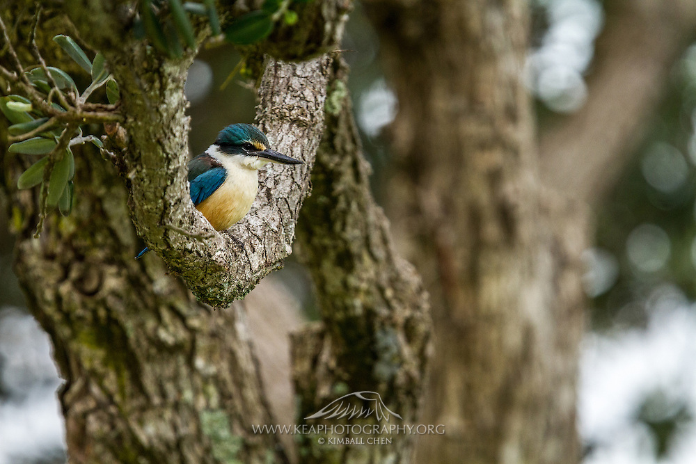 New Zealand is poorly represented having just 2 species of kingfisher.  One is the widespread and well-known Sacred Kingfisher and the other the introduced Laughing Kookaburra.