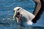 Buller's Albatross Pictures - Photos