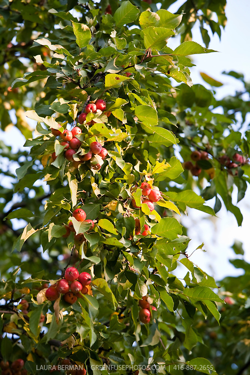 Crabapple trees loaded with fruit.