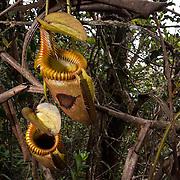 Pitcher plant (Nepenthes villosa) on Kinabalu Summit Trail, Kinabalu National Park, Borneo, Malaysia.
